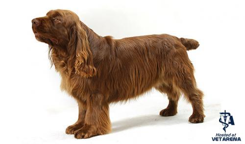 Sussex Spaniel breed Photo