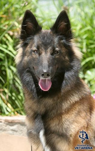 Belgian Tervuren breed Photo