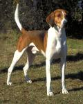 American English Coonhound breed Photos