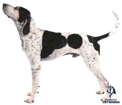 American English Coonhound breed Photo