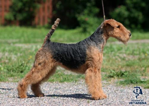 Welsh Terrier breed Photo
