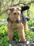 Welsh Terrier breed Photos
