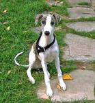 Whippet breed Photos