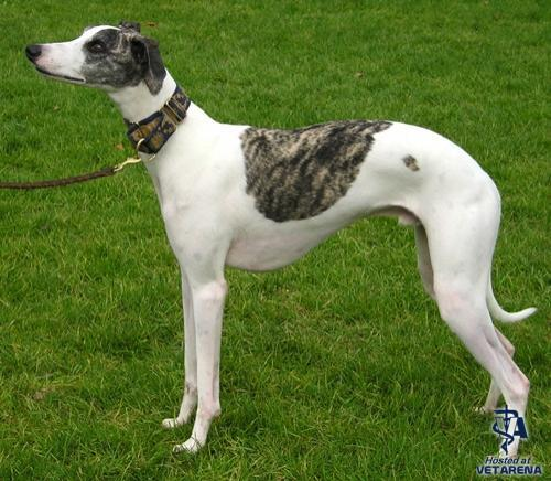 Whippet breed Photo