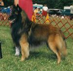 Belgian Tervuren breed Photos