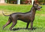 Xoloitzcuintli photos