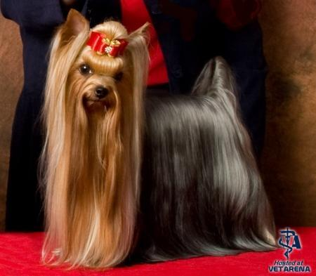 Yorkshire Terrier breed Photo