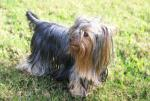 Yorkshire Terrier breed Photos
