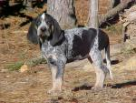 Bluetick Coonhound photos
