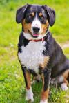 Entlebucher Mountain Dog breed Photos