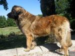 Leonberger breed Photos