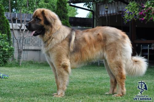Leonberger breed Photo