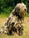 Bergamasco breed Photos