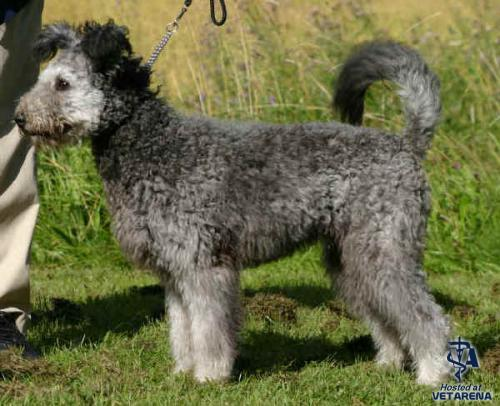 Pumi breed Photo