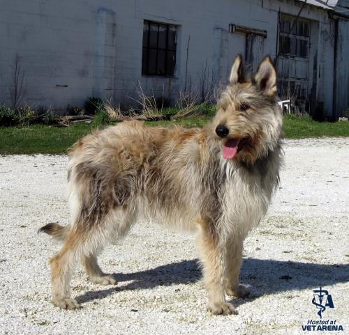 Berger Picard breed Photo