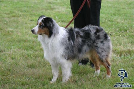 Miniature American Shepherd breed Photo
