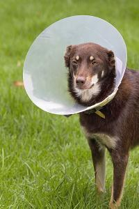 What is Elizabethan collar ?