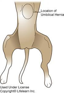 Umbilical Hernia in Dogs, Symptoms , Diagnosis and Treatment