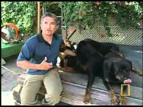 vetarena - Ceasar Millan ,I Love Rottweilers    Part 2