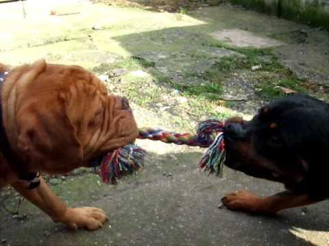 va - Rottweiler v Dogue de Bordeaux