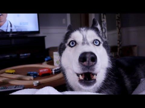 vetarena - Mishka a talking Siberian Husky Says How Are you