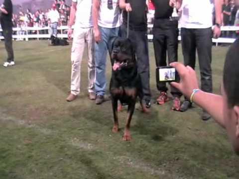 Rottweiler Dog Show - Egypt