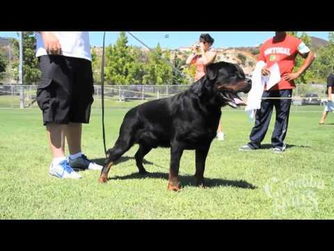 The US southwest Rottweiler champion