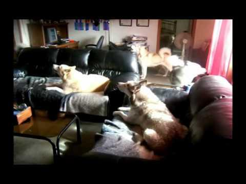 AKC - Meet Some Siberian Huskies Who are Having a Howling Good Time