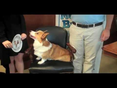 AKC - AKC Meet the Breeds 2011: Zabar the Very Royal Pembroke Welsh Corgi